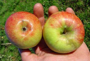 apfelbaum james grieve kaufen