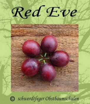 "Stachelbeere-Rot ""Red Eve"" - Stammform, robuste Stachelbeersorte!"