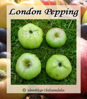 "Apfelbaum, Winterapfel ""London Pepping"""